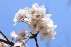 ソメイヨシノ開花(1)