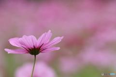 秋桜・ピンク(1)