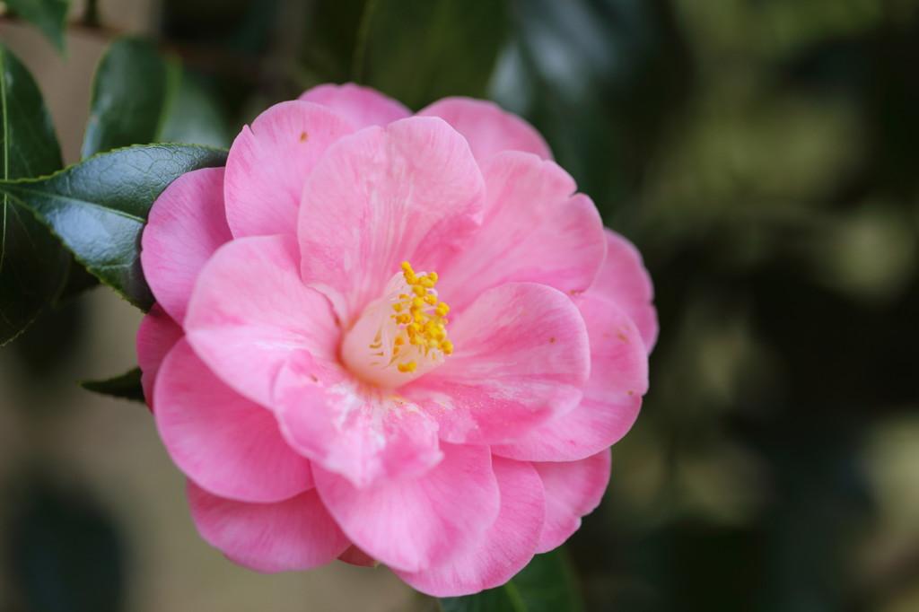 椿(ピンク)