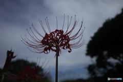 曇天に咲く花