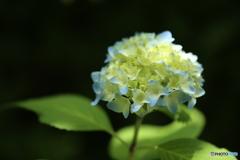 紫陽花・咲き初め