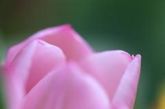 チューリップ(ピンク)