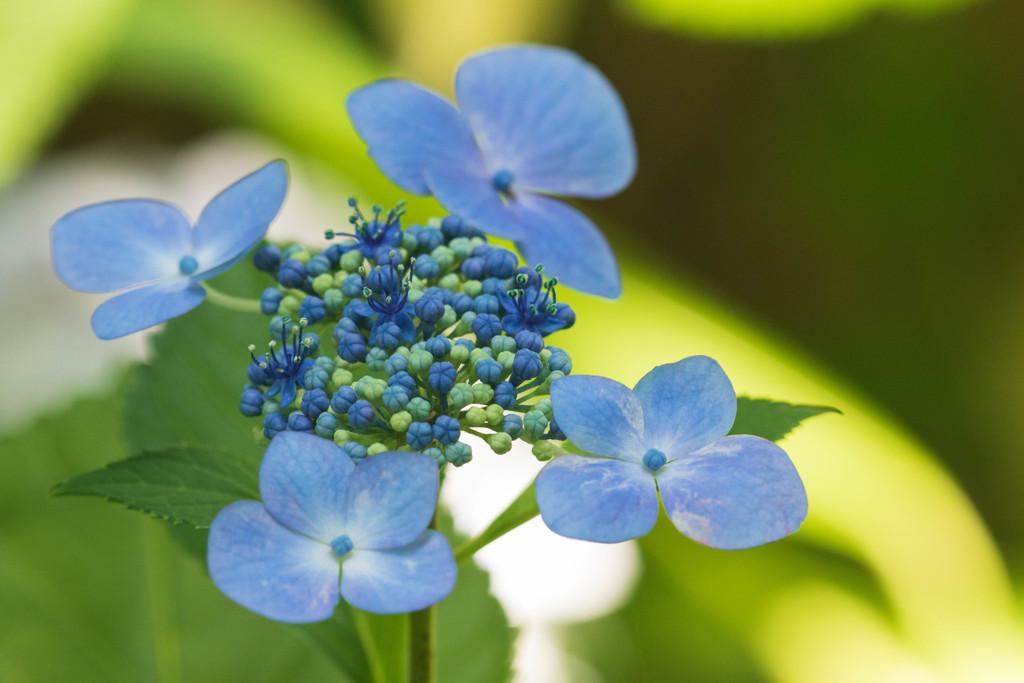 額紫陽花・ブルー