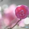 山茶花・ピンク