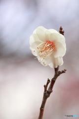 春を待つ・白梅