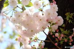桜・通り抜け(1)