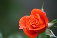 秋薔薇(5)