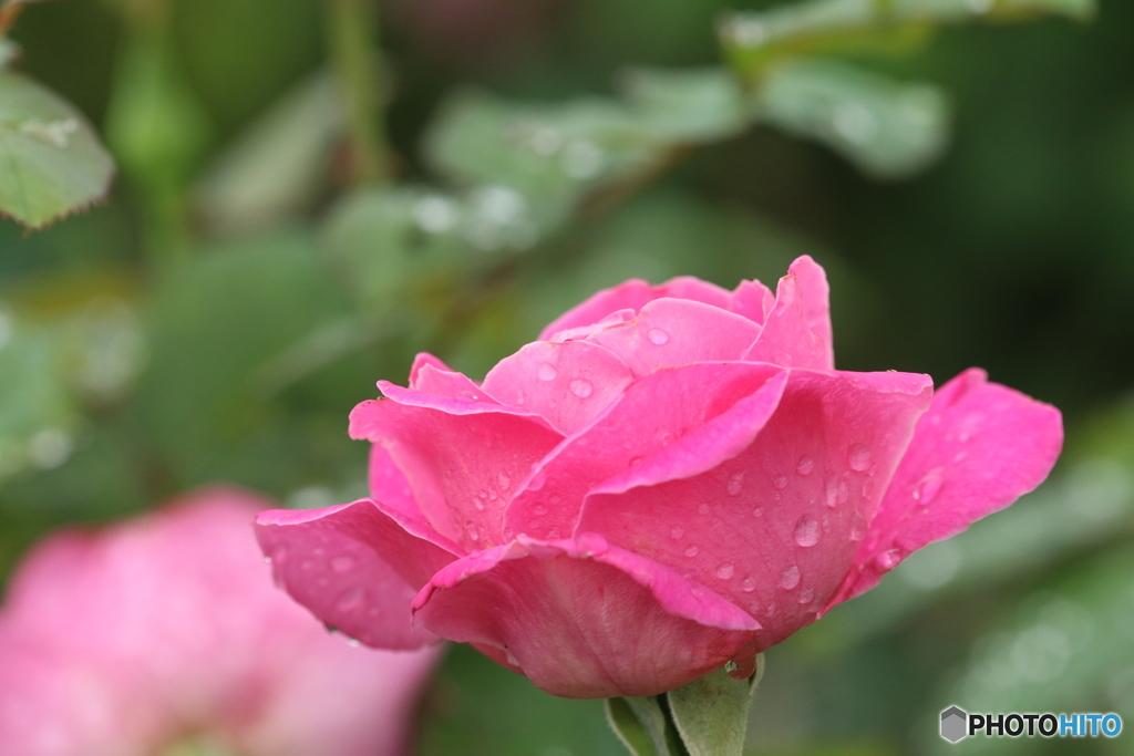 秋薔薇・雨模様(3)