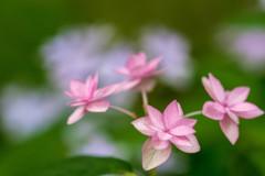 紫陽花・ピンク