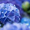 紫陽花・青