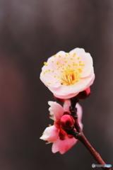 春を待つ・紅梅
