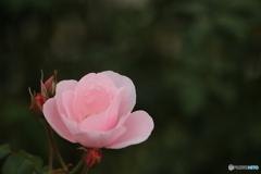 秋薔薇・ピンク