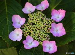紫陽花(Ⅰ)