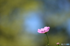 Cosmos-pink2