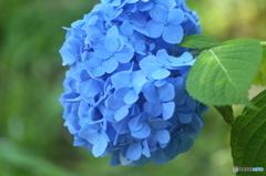 紫陽花・薄青