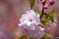 桜・通り抜け(3)