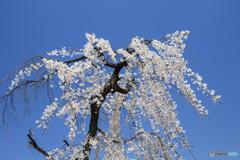 桜・満開(1)