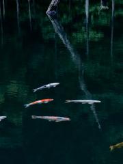 水没林の鯉