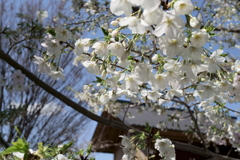 都心さくらめぐり 神楽坂 赤城神社