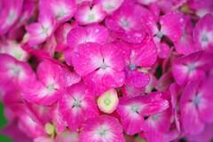 我が家の紫陽花3