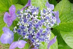 鶴見緑地雨の日の紫陽花2