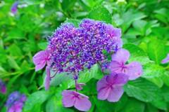 鶴見緑地雨の日の紫陽花1