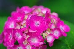我が家の紫陽花4