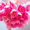 緑地に咲く寒緋桜