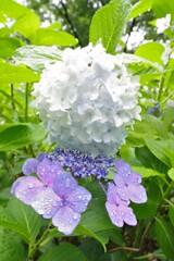 鶴見緑地雨の日の紫陽花3