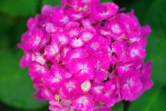 我が家の紫陽花2
