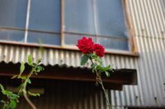 廃屋の薔薇