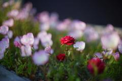 咲く場所を間違えた薔薇