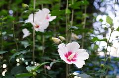 ハイビスカスではないと思います。でも何の花でしょうか?