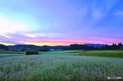 蕎麦の花夕景