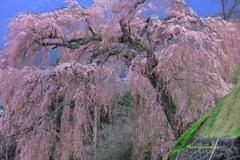 飛騨桜めぐりⅢ