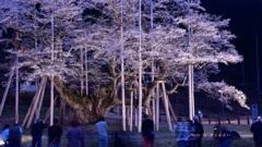 薄墨桜(2017年ライトアップⅢ)