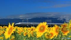 ひまわり畑の新幹線