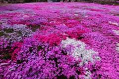 花咲おばあさんの花畑