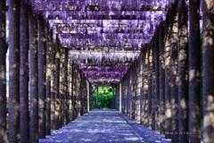 藤の回廊(光の明暗)