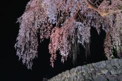 水戸野枝垂桜ライトアップⅡ
