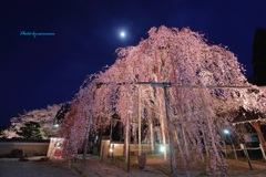 飛騨桜めぐり