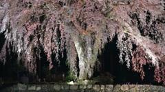 水戸野枝垂桜ライトアップ