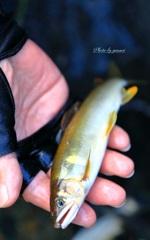 板取川の鮎