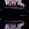 水戸野枝垂れ桜Ⅱ
