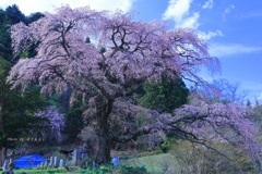黒船桜(堂々と)
