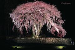 水戸野枝垂桜ライトアップⅣ