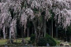 山里の枝垂れ桜