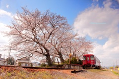 長良川鉄道 桜浪漫