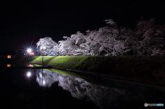御所桜(ライトアップ)