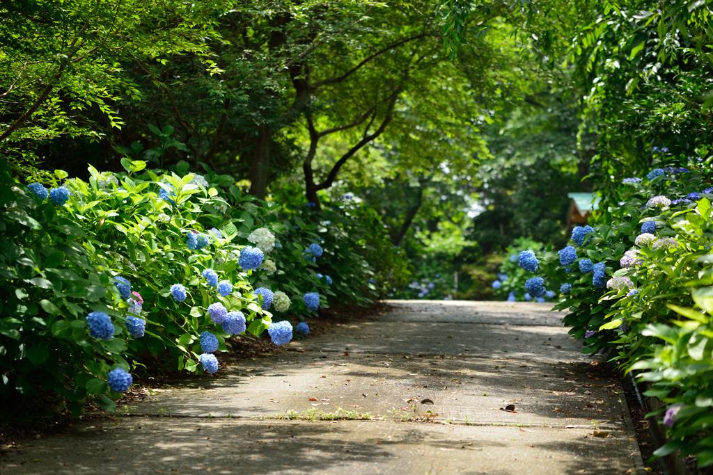 紫陽花の小路